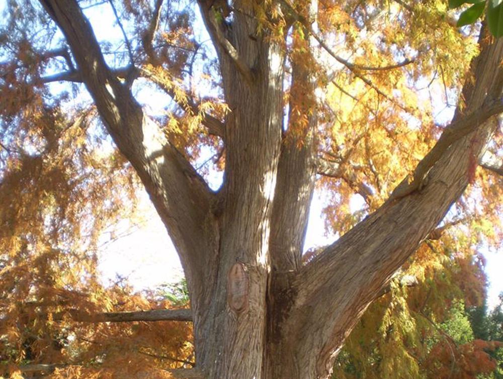 Самое большое дерево Артека - Таксодиум, Болотный кипарис